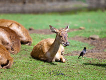 Small deer.Portrait Royalty Free Stock Photos