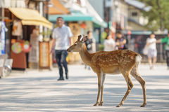Small deer in the streets of Miyajima island, Japan. Shallow depth of field with deer in the streets of Miyajima Island in Japan stock image