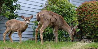 Small deer walking around Nanaimo neighborhoods in Canada. Mother deer and her fawn roaming the streets and yards of Nanaimo British Columbia damaging gardens royalty free stock photos