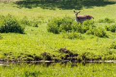 Small deer in the wild Royalty Free Stock Photos