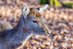 The small deer in the Woods alone Royalty Free Stock Photo