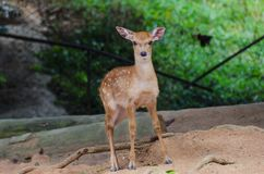 Small deer in the zoo, closeup royalty free stock image