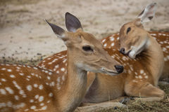 Small deer in zoo Stock Images