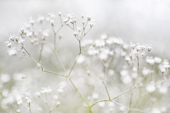 Small Defocused White Flowers Royalty Free Stock Image