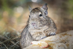 Small degu in the forest Royalty Free Stock Image