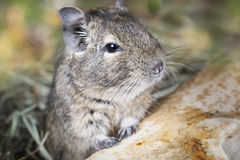 Small degu in the woods Stock Image