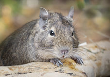 Small degu in the woods Royalty Free Stock Images