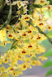 Small dendrobium orchid Stock Photography