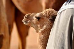Desert camel Stock Images