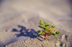 Small desert plant. A closeup of a tiny sapling of a small desert plant growing out from the sandy ground Stock Images