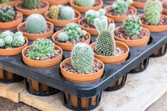Small different types of cactus plants. Royalty Free Stock Photos