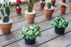 Small different types of cactus plants in a row on wooden table. Various sizes and appearances. Stock Images