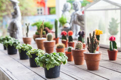 Small different types of cactus plants in a row on wooden table. Various sizes and appearances. Royalty Free Stock Photography