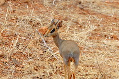 Small Dik-Dik in african national park. The exact name is Madoqua. This is a small antelope from africa stock photos