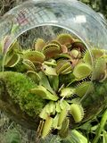 Small Dionaea muscipula in the glass royalty free stock photography