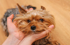 Small dissatisfied Yorkshire terrier face in a hands Stock Image