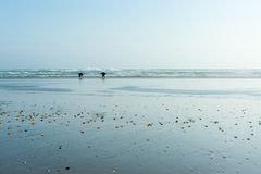 Small distant figures of shellfish collectors on wide flat sand by the  sea Royalty Free Stock Images