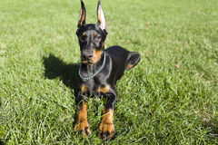 Small Doberman Royalty Free Stock Image