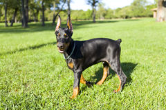 Small Doberman Stock Photography
