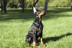 Small Doberman Royalty Free Stock Photo