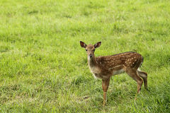 Small doe in zoo Stock Photos