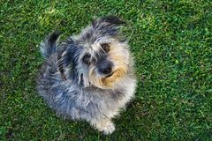 Small dog. A small fluffy dog on a green, grassy lawn royalty free stock photos