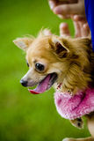 Small dog. A small breed dog with pink clothes Royalty Free Stock Photo