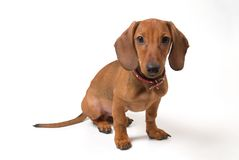 Small dog. Small dachshund dog on a white background Royalty Free Stock Images