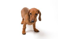 Small dog. Small dachshund dog on a white background Stock Photography