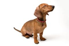 Small dog. Small dachshund dog on a white background Stock Image