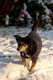 Small dog Royalty Free Stock Photo