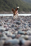 Small dog. On a pebble beach Stock Image