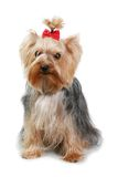 Small dog. Amusing yorkshire terrier with a red bow Royalty Free Stock Images