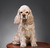 Small dog. Beautiful american cocker spaniel sitting in front of gray background royalty free stock photography