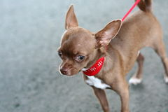 Small Dog Stock Images