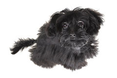 Small dog. The name of breed petersburg orchid. On white background Stock Photos