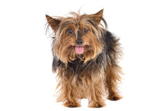 Small dog Royalty Free Stock Image