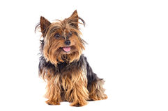 Small dog Royalty Free Stock Images