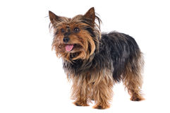 Small dog Stock Photography