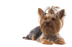 Small dog Royalty Free Stock Image