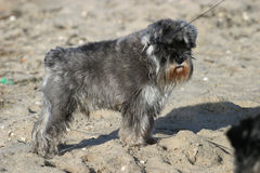 Small Dog. Small bearded dog on the beach royalty free stock images