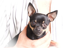 Small dog. Litlle dog on the hand Royalty Free Stock Photo