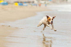 Small Dog Action Shot Royalty Free Stock Photography