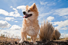 Small dog against cloudy sky. A mixed breed dog against a cloudy blue sky background stock photos