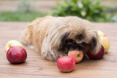 Small dog and apple Stock Photography