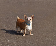 Small Dog with Attitude. Looking at camera, snarling royalty free stock photography