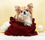 Small dog in the bag. On yellow christmas background stock image