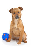 Small dog with ball isolated on white Stock Photos