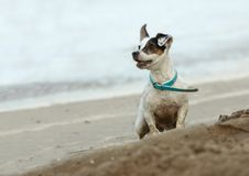 Small dog on the beach Royalty Free Stock Photos