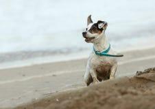 Small dog on the beach. Cute dog on the beach royalty free stock photos